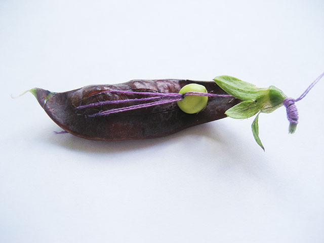 #28 - 10 of 10 left - Purple Podded Pea No. 10