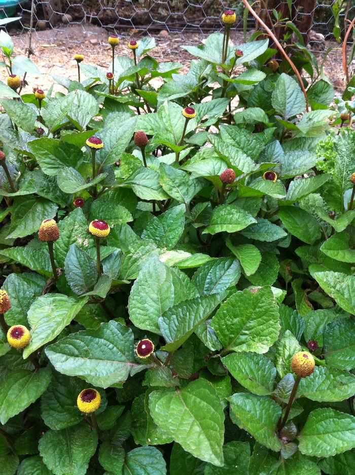 Can't afford dental insurance (like us)? -- Spilanthes, aka Toothache Plant, will ease your pain