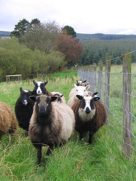Shetland Sheep; Source: wikipedia Shetland wool comes in many colors & is great for sweaters and colorwork.