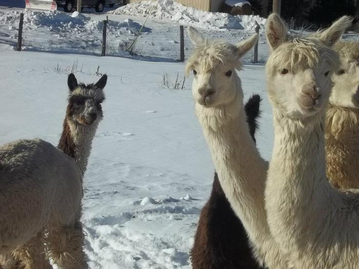 Alpacas are very curious and gentle animals