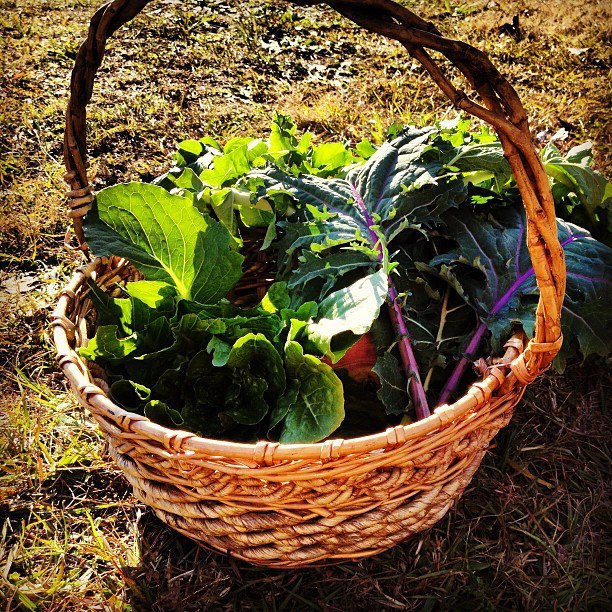 Goody bag of lettuce, kale, turnip greens, and collard greens! :)