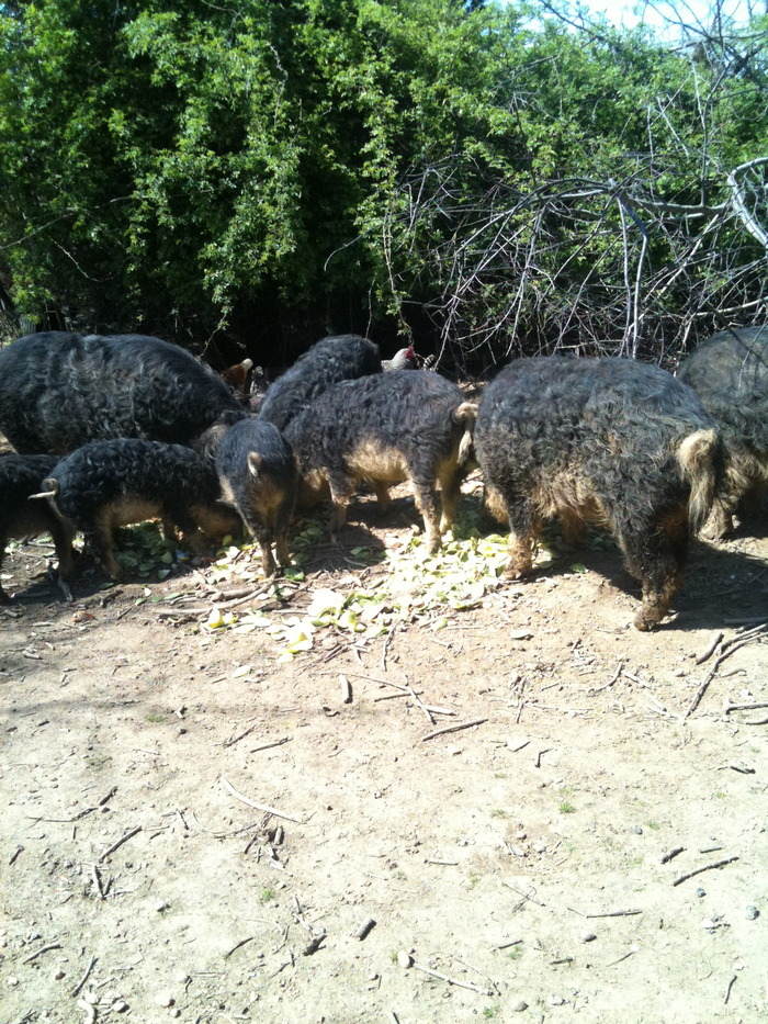 Mangalitsa hogs on the farm