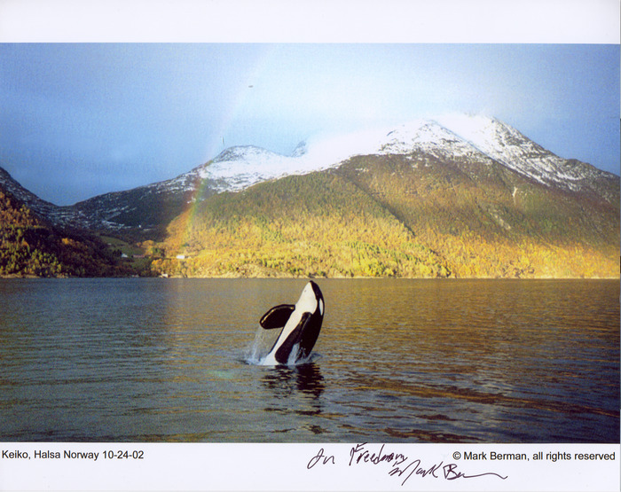 Mark Berman photo of Keiko during a visit in Iceland in 2002
