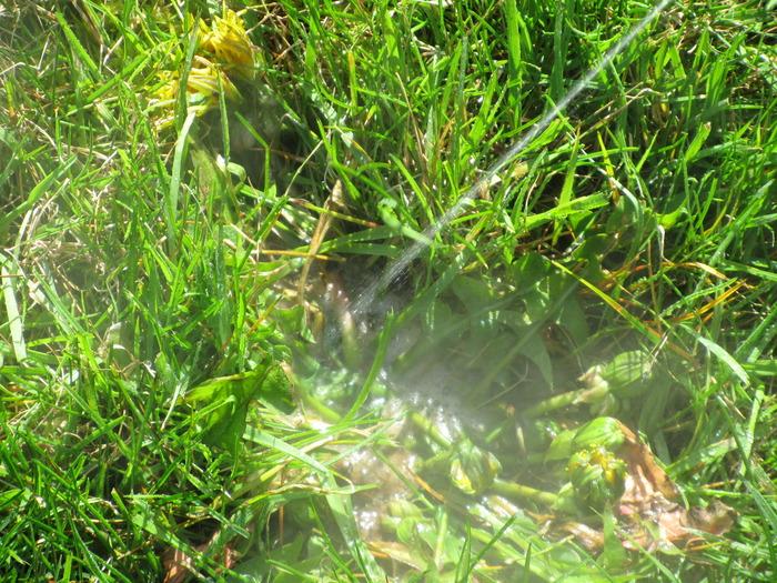 Dandelion being sprayed