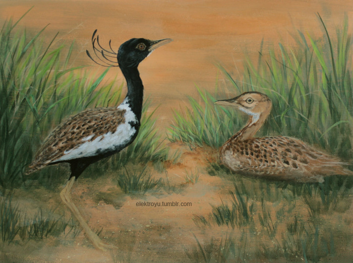 Lesser Florican by Josefine Spenke