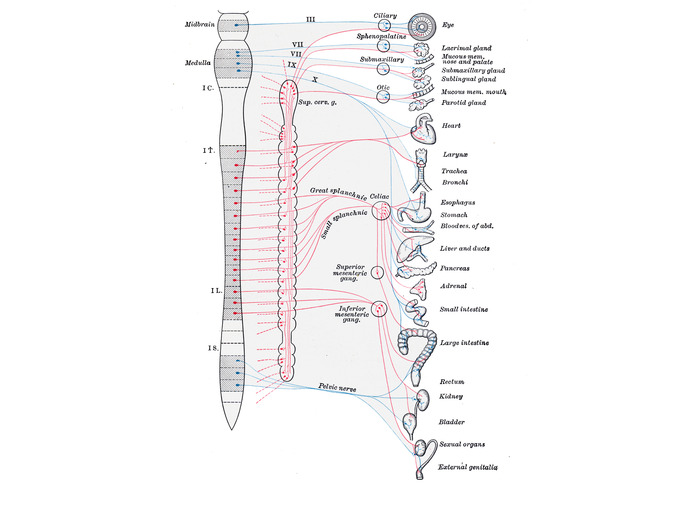 Diagram of Central Nervous System, Autonomic Trunk and Target Organs