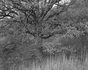 Oak Tree, Holmdel, New Jersey, 1970