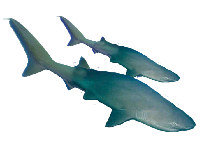 Two sleek Sharks cruise the deep water.