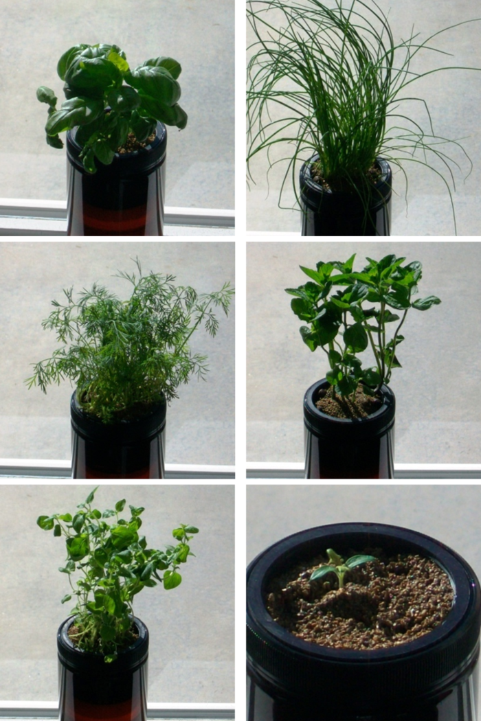 This shows Basil, Chives, Dill, Mint, Oregano and a 2 week old Tomato plant all grow in the Grow Jar.