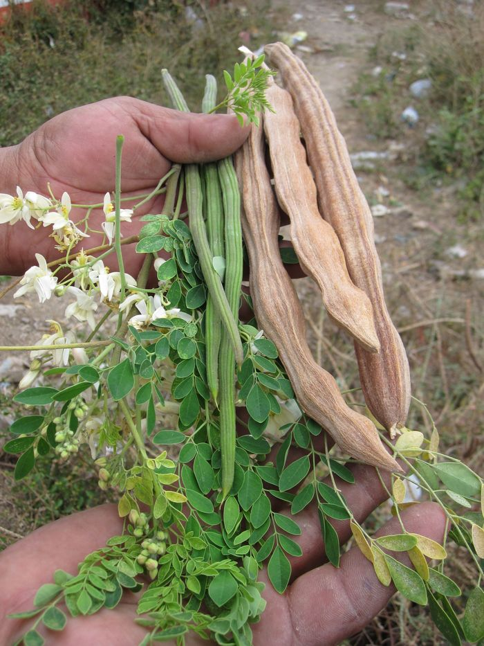 The remarkable moringa tree provides essential human needs, including its high-protein leaves, and thrives in tropical deserts to humid areas.
