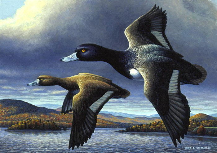 """Blue-bills at Button Bay"" 1996 Vemont Duck Stamp Image"