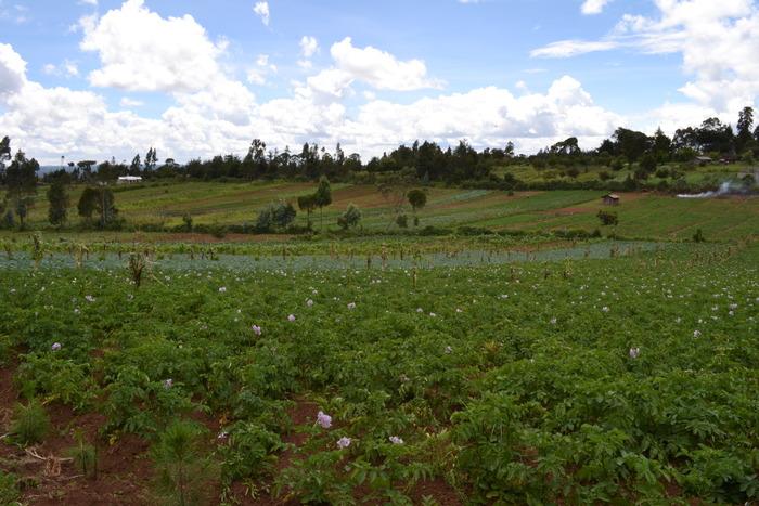 Potato farms in central Kenya