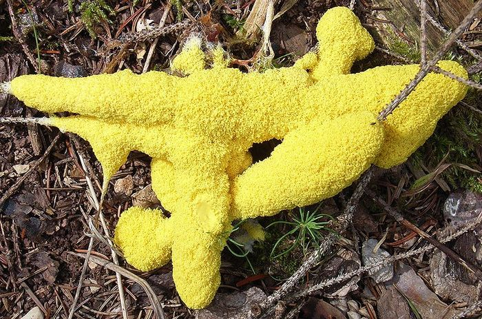 Fuligo septica, or 'dog vomit slime mold.' One of the most commonly seen species.