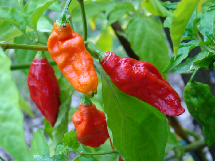 The Bhut Jolokia (Ghost Pepper), the spiciest chili in the world.