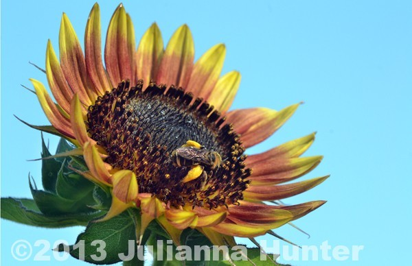 Sunflower with a bumble bee gathering pollen in Navoo, Al. photographed as part of the Alabama Sustainable Farming Network project.