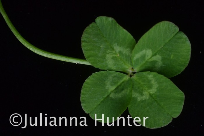 Four-leaf clover. This is one of the images that will be featured as the second half of the show with the circus.