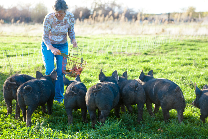 Our Berkshire pigs enjoying a snack.