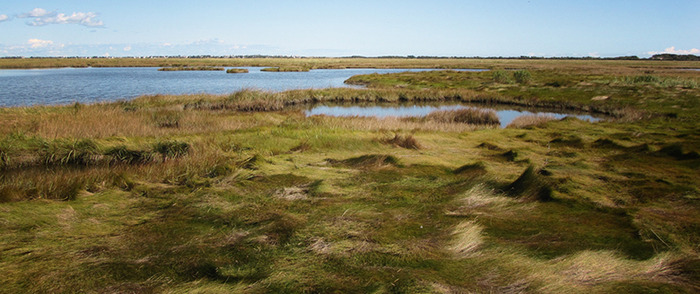Pictured above is a healthy section of The Great Marsh.