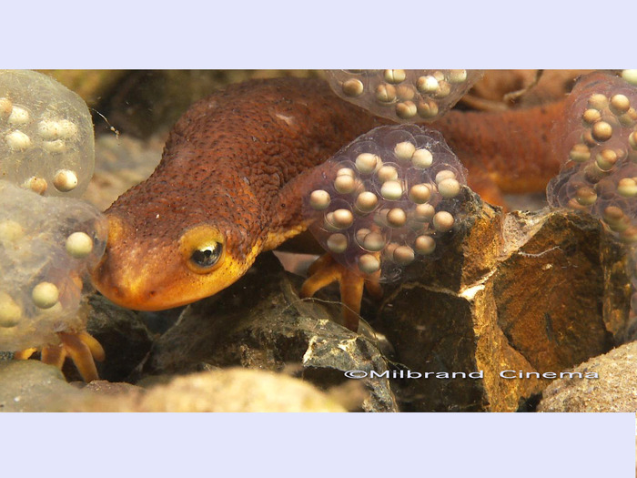 This newt is walking behind freshly laid newt eggs underwater in a creek.  This shot and many of the sequences captured in the movie tell a great story.