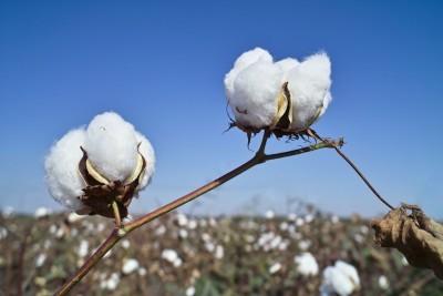 Delat cotton bolls.