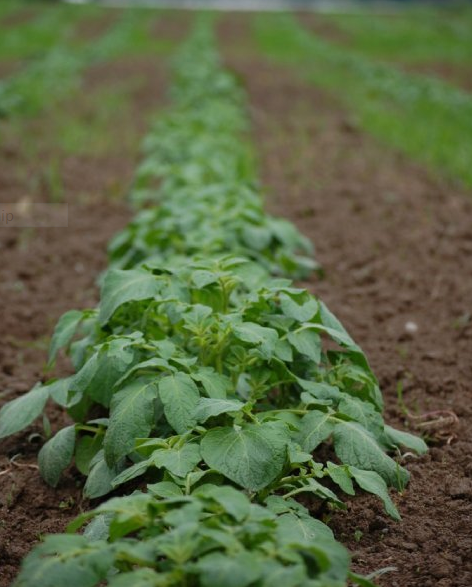 A row of potato plants thriving in rich Snoqualmie soil