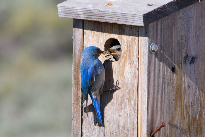 A male Mountain Bluebird delivers food to his nest box.