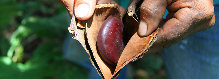 A dried beanpod with precious mahogony coloured bean lying within