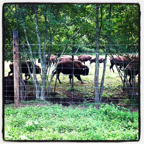 Yearling and two year old bison at Cibola Farms in Culpeper, VA. This picture is from a tour we took of the farm in July 2012