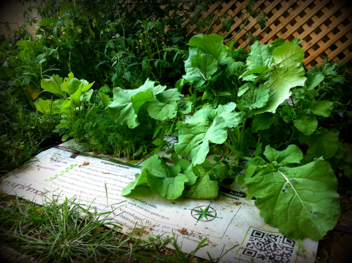 Nourishmat Growing in Fall: Eggplant, Parsley, Dill, Kale