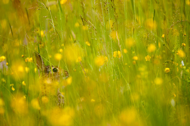 Print 1: European rabbit amongst buttercups. Taken from 'The Meadow'