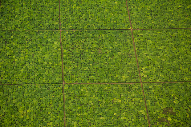 An aerial view of tea fields. Taken from the first story in this series looking at forest restoration in Western Kenya