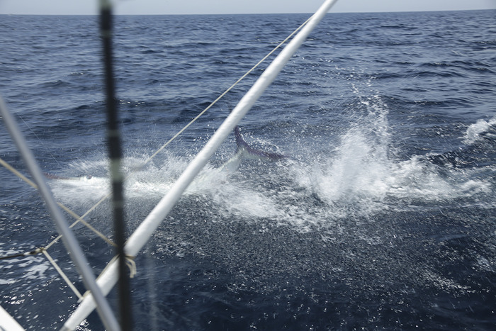 Our day offshore, the Marlin almost jumped IN THE BOAT.
