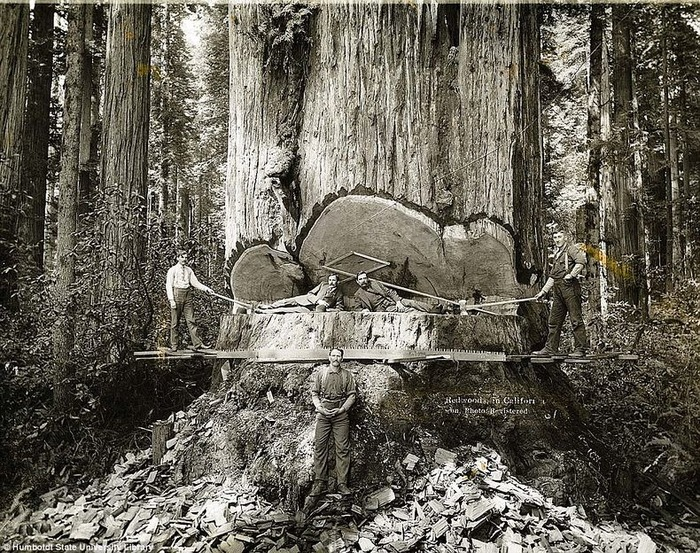 A redwood, similar to the tree the Slab cam from, being cut down in the early 1900's. (Photo courtesy Humboldt State University Library)