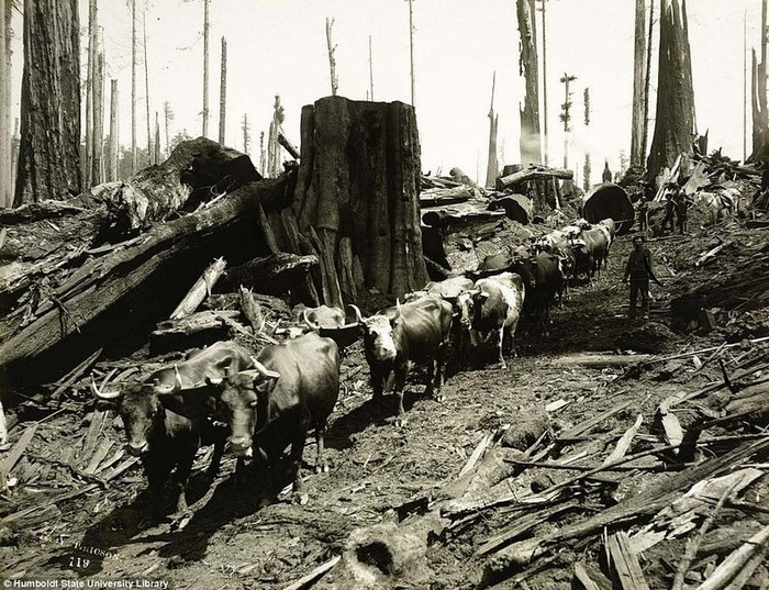 Stumps, similar to the one The Slab came from, left to rot. (Photo courtesy Humboldt State University Library)