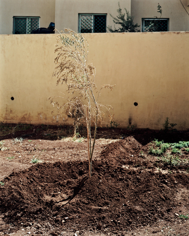 The olive tree Abdul planted.