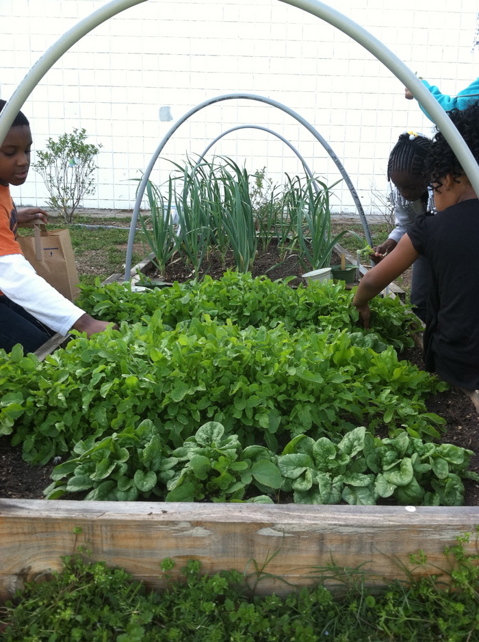 Students at one of our community gardens, picking greens for a fresh made salad!  Great afterschool snack!