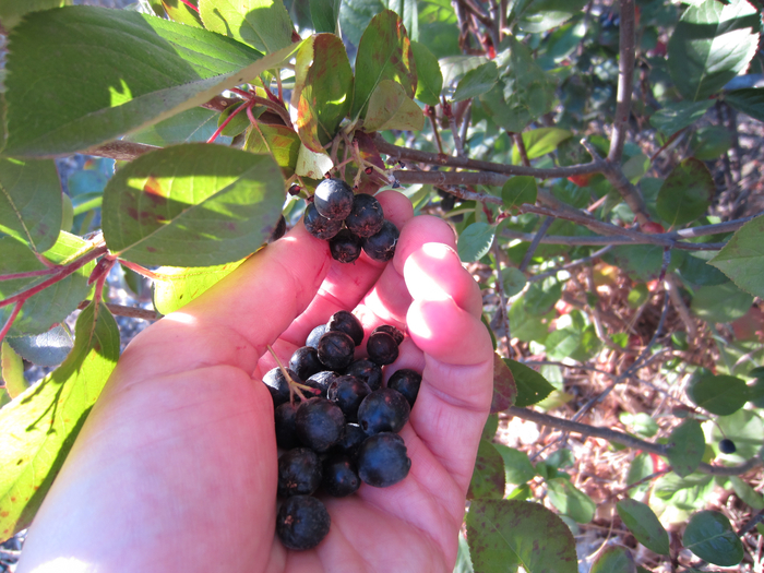 foraging the superfood aronia