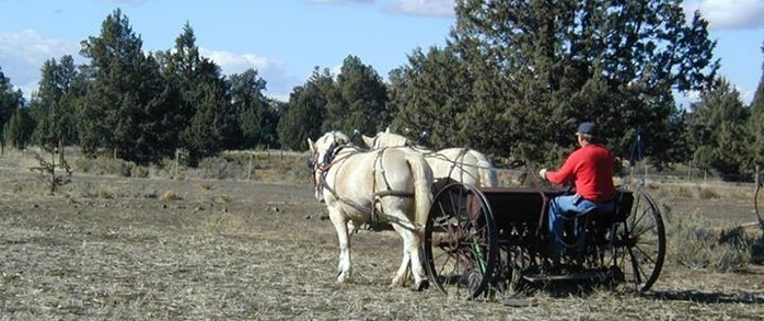 American Cream Draft Horse team farming a field