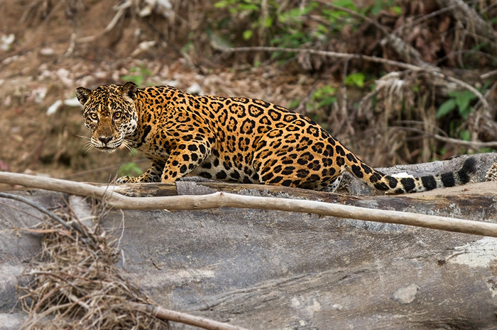 A Female Jaguar on Las Piedras River, Peru. Photo by Tom Ambrose.