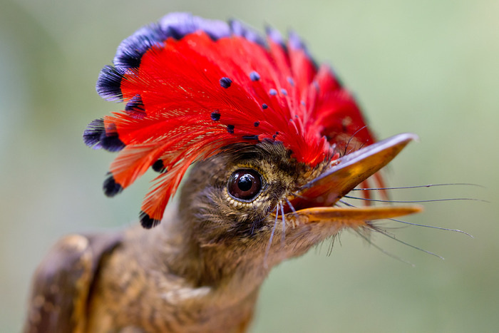 A Male Royal Flycatcher only displays its magnificent crest when displaying for a mate or when threatened. In this case it was caught in a mist net and photographed in the hand. Photo by Tom Ambrose.