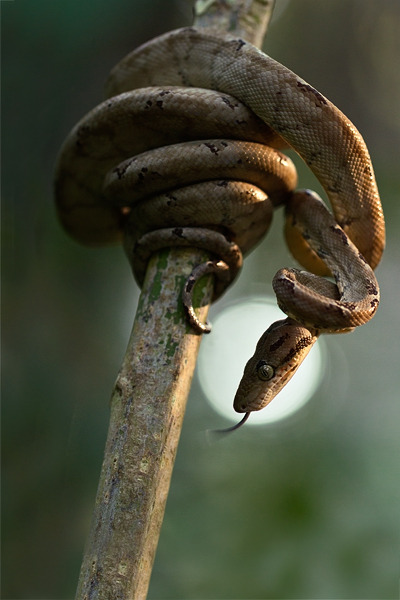 An Amazon Tree Boa, the most common boa species in the area. Their huge eyes reflect a lot of light, so they show up well at night when spotlighted. Photo by Tom Ambrose.