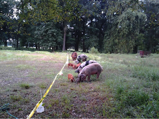 Our Registered Duroc boar, a couple of his best girlfriends, and some naughty babies all staying where they belong behind two thin wires of electric fence.