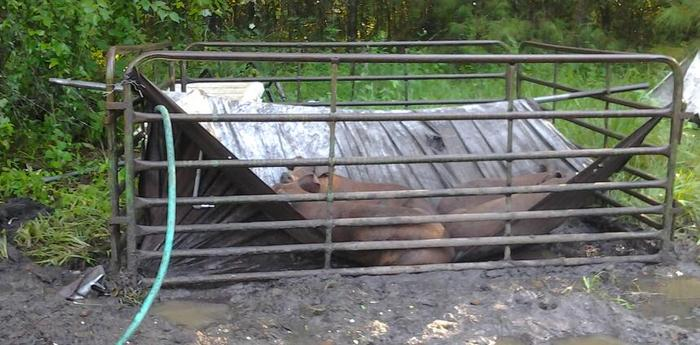 In the rainy season, the pigs prefer to use their roofs as hammocks.  That little tarp is supporting over 500 pounds - good tarp!