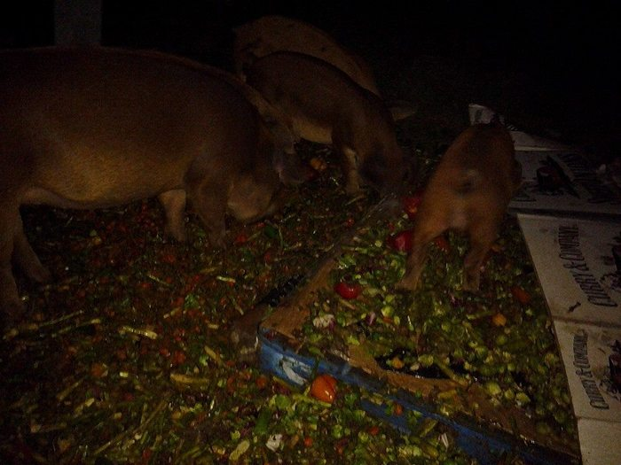 By evening, 5 pigs have reduced 800 pounds down to a slurry.  (Notice that they eat the tops off of asparagus and leave the stalk.  Yeah, they're that discerning... but they eat the stalks the next day)