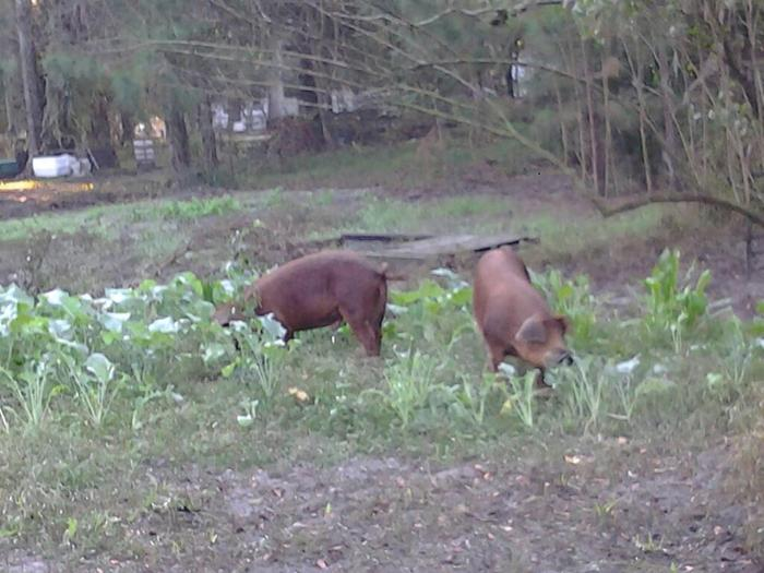 Pigs in the collards...