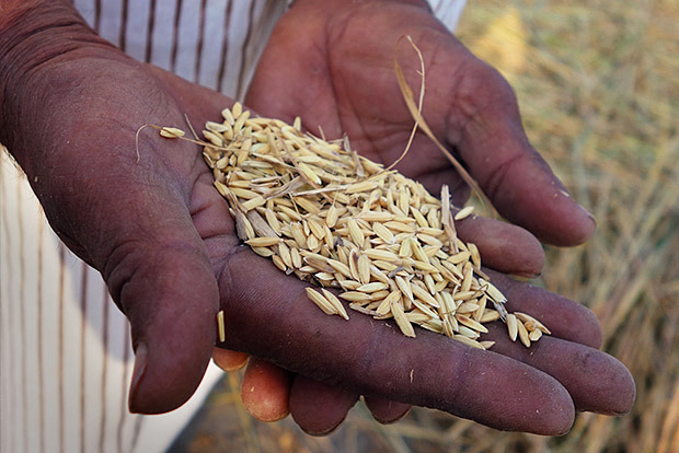 A farmer holds basmati rice after harvest in Dehradun, India
