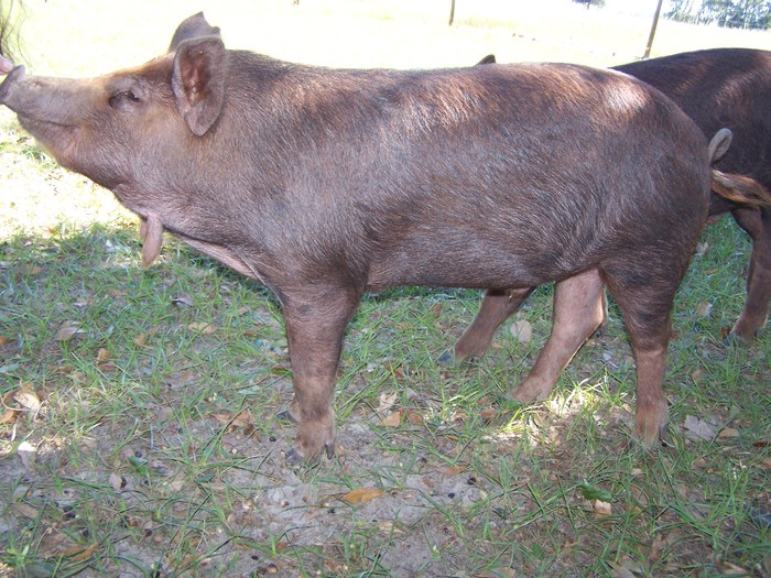This is a fine example of the Southern Cross pig.