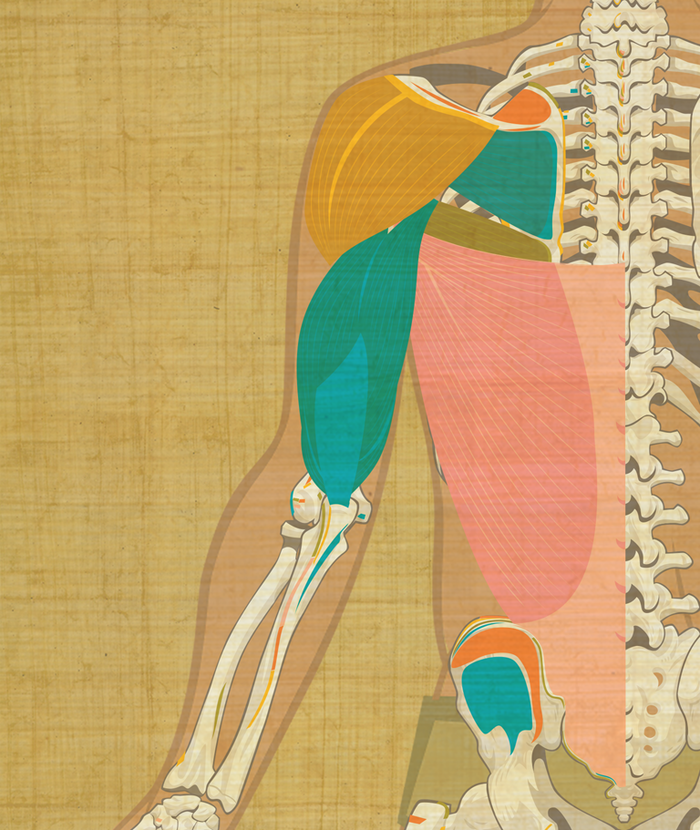 View of the posterior muscles for the game.