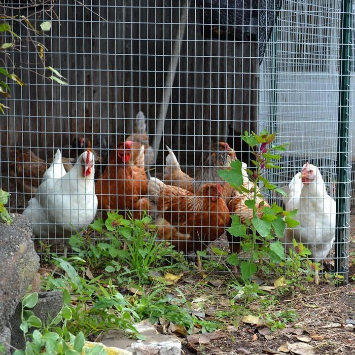 TAO Chickens