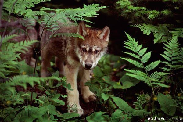 Wolf Pup Ravenwood - Photo by Jim Brandenburg